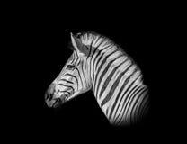 Портрет зебры Burchell Стоковое Изображение