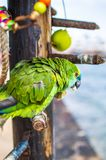 Портрет зеленого попугая в ресторане около пляжа стоковое фото