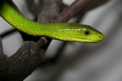 Портрет зеленой мамбы, viridis Dendroaspis стоковые изображения rf