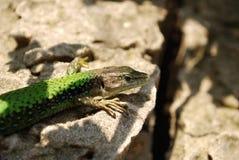 портрет зеленой ящерицы Стоковая Фотография RF