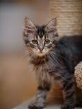 Портрет зелен-наблюданного striped кота Стоковая Фотография