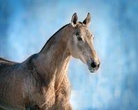 Портрет зимы лошади Akhal-teke Стоковая Фотография RF