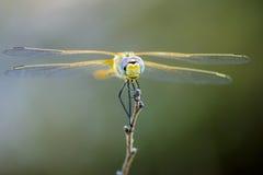 Портрет змеешейки шарлаха (erythraea Crocothemis) Стоковое Изображение