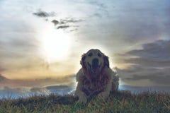 Портрет золотого retriever лежа в траве Стоковое Изображение