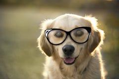 Портрет золотого retriever с стеклами глаза Стоковые Фото