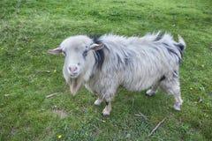 Портрет зрелой козы Стоковое Фото
