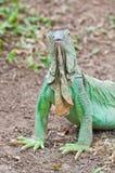 портрет игуаны Стоковые Изображения