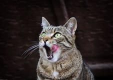 Портрет лизать кота с зелеными глазами outdoors Стоковая Фотография RF