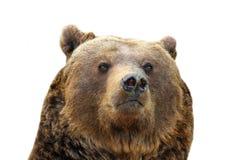 Портрет изолированный бурым медведем стоковые изображения rf