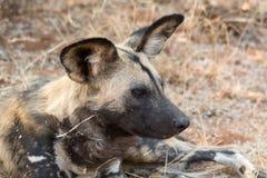 Портрет дикой собаки Стоковое фото RF
