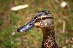Портрет дикой утки Стоковая Фотография RF