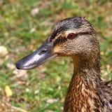 Портрет дикой утки Стоковая Фотография