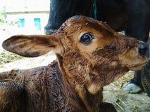 Портрет икры новорожденного с коровой матери Стоковое фото RF