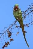Портрет длиннохвостого попугая Alexandrine в природе Стоковое Изображение RF