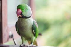 Портрет длиннохвостого попугая Ringnecked Стоковые Фото