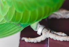 Портрет длиннохвостого попугая Ringnecked Стоковые Изображения