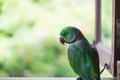 Портрет длиннохвостого попугая Ringnecked Стоковая Фотография RF