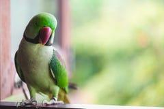 Портрет длиннохвостого попугая Ringnecked Стоковые Фотографии RF