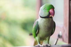 Портрет длиннохвостого попугая Ringnecked Стоковое Фото