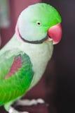 Портрет длиннохвостого попугая Ringnecked Стоковая Фотография