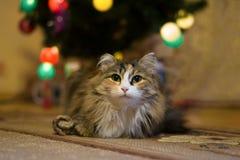 Портрет длинн-с волосами кота Стоковая Фотография