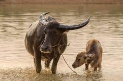 Портрет индийского буйвола Азии, или азиатского буйвола Стоковые Фотографии RF