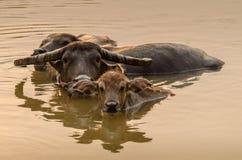 Портрет индийского буйвола Азии, или азиатского буйвола Стоковая Фотография