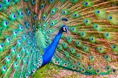 Портрет индийского мужского павлина Стоковое Фото