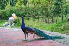 Портрет индийского мужского павлина Стоковое Изображение RF
