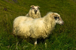 Портрет исландских овец на ферме Nupstadur Стоковое Изображение