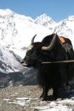Портрет кавказских яков с горой в предпосылке стоковое изображение