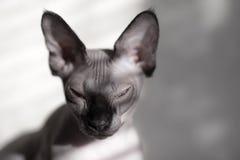 Портрет канадского сфинкса Стоковая Фотография RF
