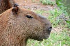 Портрет капибары Стоковая Фотография