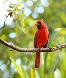 Портрет кардинала мужчины Стоковые Фото