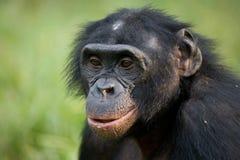 Портрет карликовых шимпанзе Конец-вверх демократическая республика Конго Национальный парк КАРЛИКОВОГО ШИМПАНЗЕ Lola Ya Стоковое Изображение RF