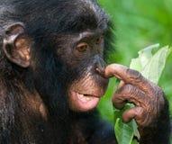 Портрет карликовых шимпанзе Конец-вверх демократическая республика Конго Национальный парк КАРЛИКОВОГО ШИМПАНЗЕ Lola Ya Стоковая Фотография
