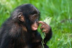 Портрет карликовых шимпанзе Конец-вверх демократическая республика Конго Национальный парк КАРЛИКОВОГО ШИМПАНЗЕ Lola Ya Стоковая Фотография RF