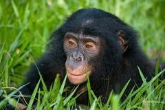 Портрет карликовых шимпанзе Конец-вверх демократическая республика Конго Национальный парк КАРЛИКОВОГО ШИМПАНЗЕ Lola Ya Стоковые Изображения RF