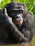 Портрет карликовых шимпанзе Конец-вверх демократическая республика Конго Национальный парк КАРЛИКОВОГО ШИМПАНЗЕ Lola Ya Стоковое фото RF
