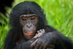 Портрет карликовых шимпанзе Конец-вверх демократическая республика Конго Национальный парк КАРЛИКОВОГО ШИМПАНЗЕ Lola Ya Стоковое Изображение