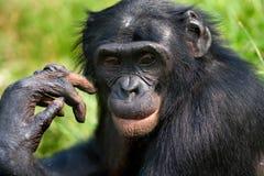Портрет карликовых шимпанзе Конец-вверх демократическая республика Конго Национальный парк КАРЛИКОВОГО ШИМПАНЗЕ Lola Ya Стоковые Фото