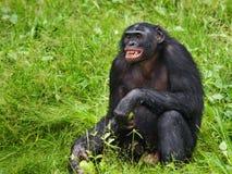Портрет карликовых шимпанзе Конец-вверх демократическая республика Конго Национальный парк КАРЛИКОВОГО ШИМПАНЗЕ Lola Ya Стоковое Фото
