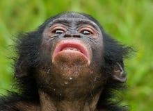 Портрет карликовых шимпанзе Конец-вверх демократическая республика Конго Национальный парк КАРЛИКОВОГО ШИМПАНЗЕ Lola Ya Стоковые Изображения
