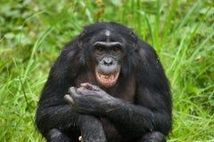 Портрет карликовых шимпанзе Конец-вверх демократическая республика Конго Национальный парк КАРЛИКОВОГО ШИМПАНЗЕ Lola Ya Стоковые Фотографии RF
