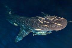 Портрет китовой акулы близкий поднимающий вверх подводный на ноче Стоковая Фотография