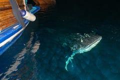 Портрет китовой акулы близкий поднимающий вверх подводный на ноче Стоковые Изображения RF