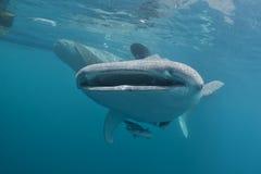 Портрет китовой акулы близкий поднимающий вверх подводный Стоковые Фото