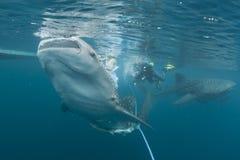 Портрет китовой акулы близкий поднимающий вверх подводный Стоковое фото RF