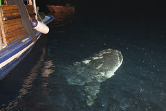 Портрет китовой акулы близкий поднимающий вверх подводный Стоковое Изображение RF