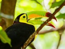 Портрет Кил-представленной счет птицы Toucan Стоковое Изображение